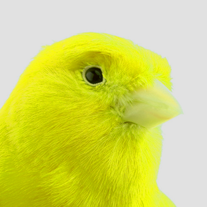canary_