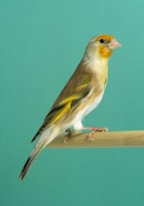 Hybrid - Canary x Goldfinch