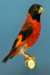 Venezuelan Black Hooded Red Siskin