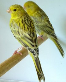 Yellow Agate Topaz