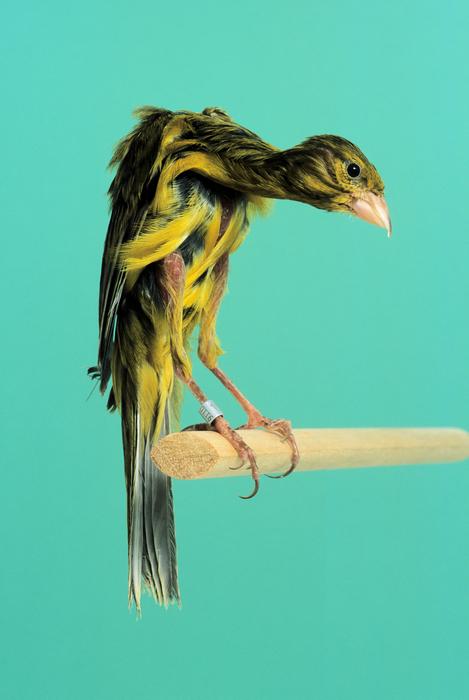 Gibber italicus canary | kenari taman