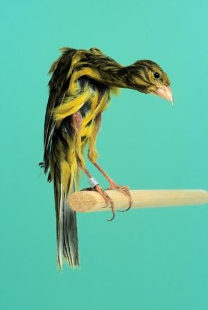 Canary  gibber italicus_