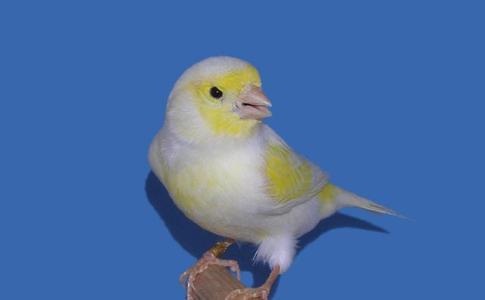 Yellow Mosaic Cock