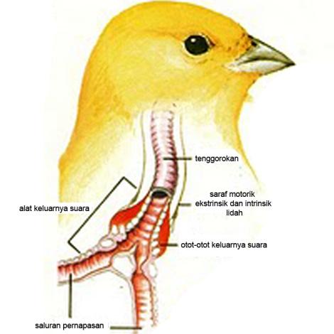 organ suara pada kenari