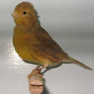 cinnamon_canary