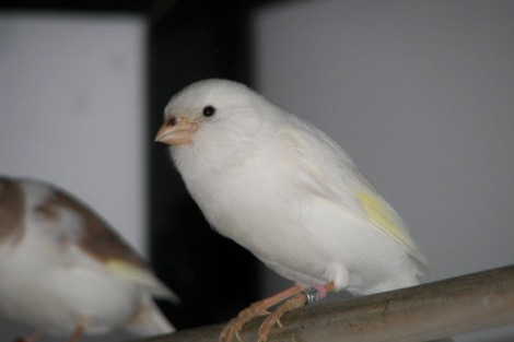 dominant_white_canary