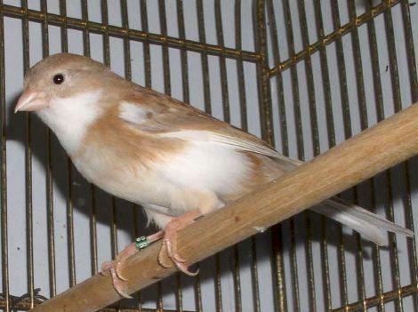 fawn_canary