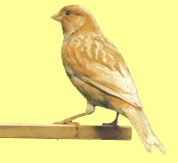 phaeo_canary