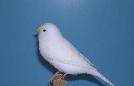 recessive_white_canary
