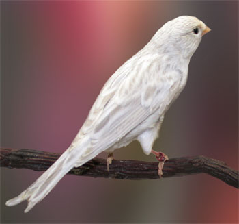 silver_canary