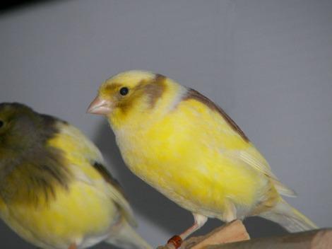Melanin Kuning